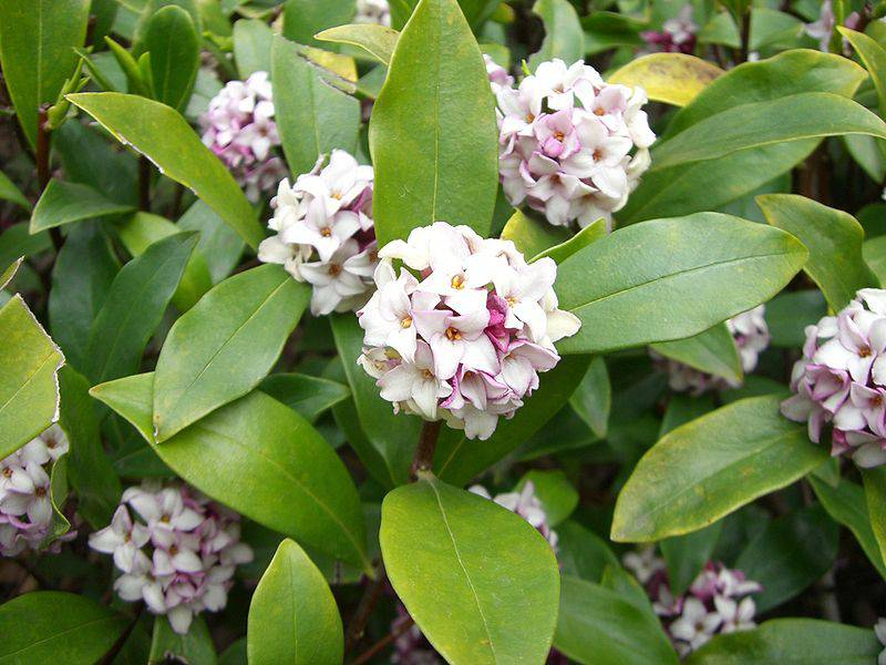 沈丁花(ジンチョウゲ)の花言葉と育て方。植え替え注意と挿し木がミソ!