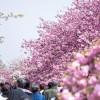 大阪造幣局の桜の通り抜けはいつ?アクセスと周辺スポットを紹介