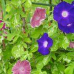 朝顔の花言葉は色で変わる!赤、白、紫の場合は?英語で言うと?