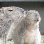 長崎バイオパークはカピバラに触れる!動物好きへの見所を紹介