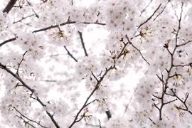 _shared_img_thumb_PAK86_hizasigamabushiisakura20130323_TP_V